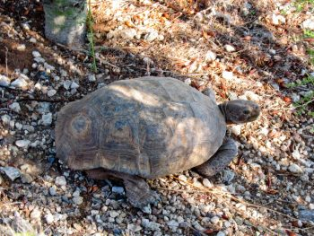 Desert Tortoise Sighting – at last!