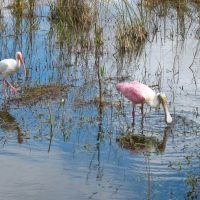 Roseate Spoonbill and Ibis