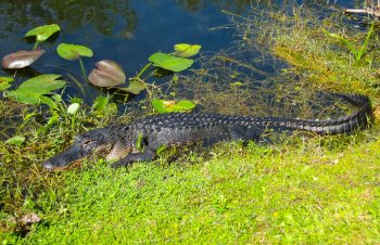 Everglades National Park – Spoonbills & Herons, & Alligators, Oh My!