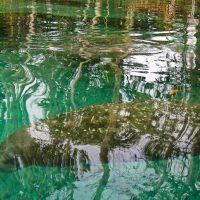 Manatee under water