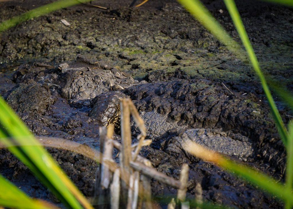 Alligator in the Mud
