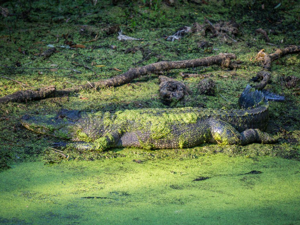 A Basking Alligator