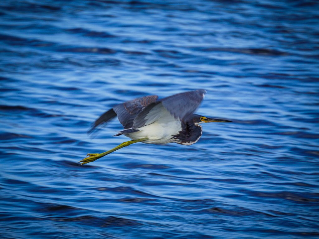 Flying Tri-Colored Heron